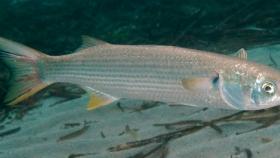 Pesca de Lisa (Mugil platanus)