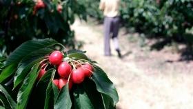 Campaña de cerezas: logística y mano de obra se presentan como grandes retos