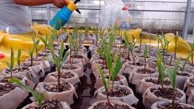 Tecnología que acelera el desarrollo de nuevas líneas de maíz