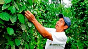 La pimienta colombiana que está en la mira de chefs internacionales