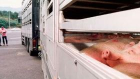 Bioseguridad en relación al transporte del ganado porcino