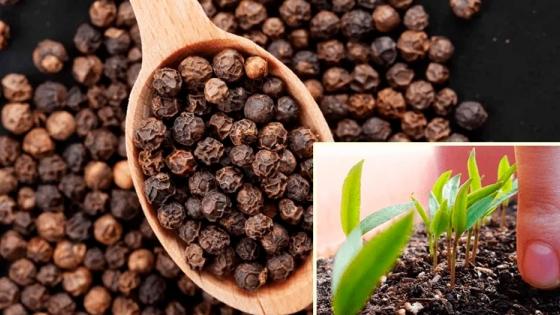 Cómo cultivar pimienta negra