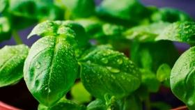 Del mercado a casa: Cómo cultivar la albahaca en agua