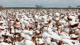 El algodón podría tener un fuerte impulso en Santa Fe