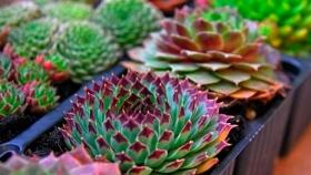 Cómo reproducir plantas suculentas