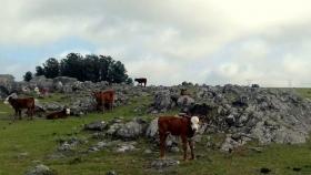 Plan Agropecuario detectó condición corporal del rodeo complicada y medidas para ajustar la carga ganadera