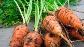 Cómo Cultivar Zanahorias Chantenay