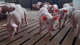 Bioter presentó HIGROW, su nuevo programa de nutrición de precisión para cerdos