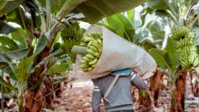 Banano: un cultivo fundamental para la seguridad alimentaria que está bajo amenaza