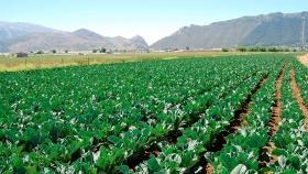 Cómo se cultiva la coliflor