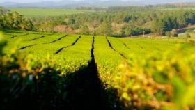 Créditos para la cosecha y exportación de té en Misiones