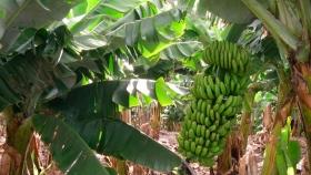 Misiones busca ampliar la cuenca productiva de banano con microcréditos