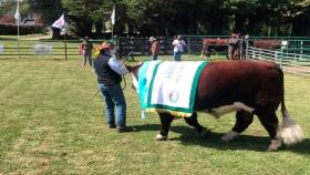 Remataron en $380 mil al gran campeón de la Expo Bovina de Esquel