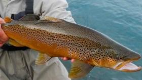 Pesca de Trucha marrón (Salmo trutta)