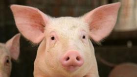 Valor agregado a la producción porcina