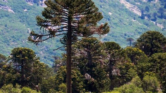 La araucaria, especie protegida