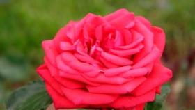 Otoño o invierno, ¿cuándo se deben plantar los rosales?