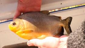 El mundo consume 20kg de pescado por persona y la mitad proviene de la acuicultura
