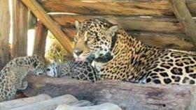 Después de 70 años de estar extinto en Corrientes, el mayor carnívoro sudamericano volvió al Iberá