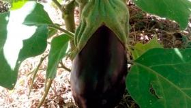 Cómo cultivar Berenjena de forma orgánica