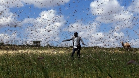 Tanzania: las langostas invaden la región norte y dañan los cultivos