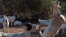 Cambio Rural: Con trabajo, organización y unión familiar llevan adelante un emprendimiento caprino sostenible