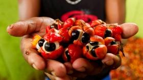 De la secuenciación genética al chocolate, la Amazonía brasileña busca un nuevo modelo