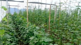 Batata semilla: menos virus, más producción y calidad alimentaria
